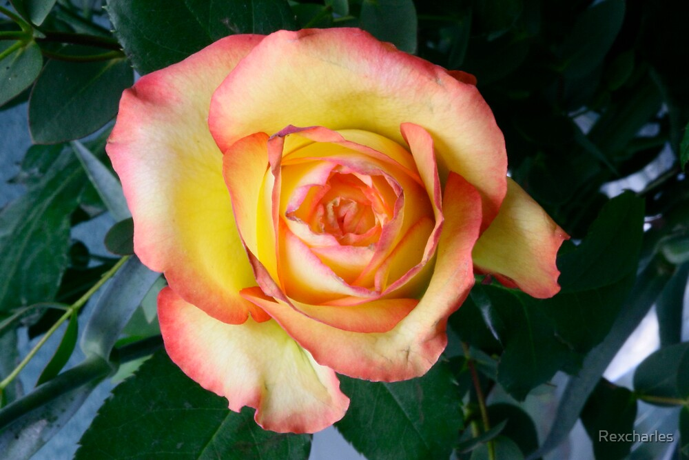 YELLOW ROSE by Rexcharles
