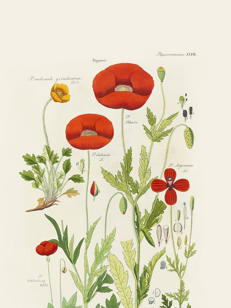 Botanical illustration: Poppy by David Dietrich – State Library Victoria by StateLibraryVic
