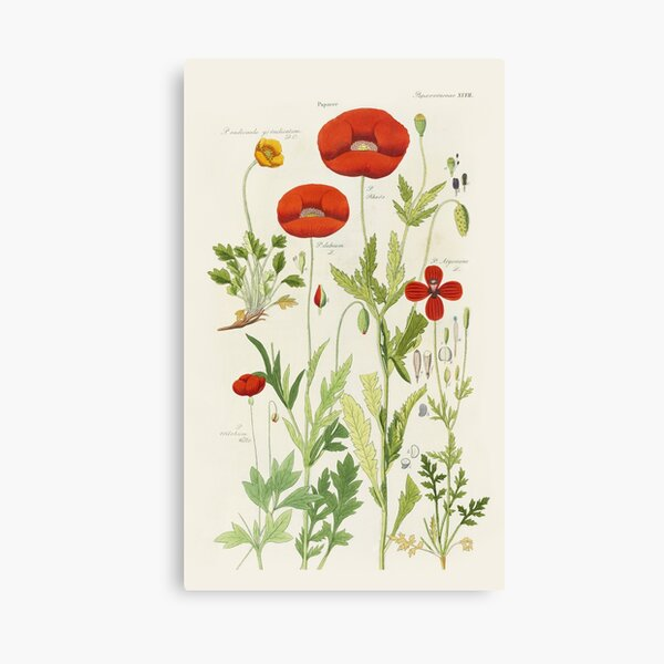 Botanical illustration: Poppy by David Dietrich – State Library Victoria Canvas Print