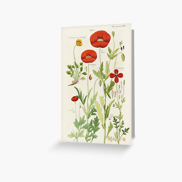 Botanical illustration: Poppy by David Dietrich – State Library Victoria Greeting Card