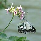 Caper White, Belenois java by peterstreet