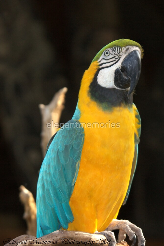 Macaw (Yellow and Blue make Green) by elegantmemories
