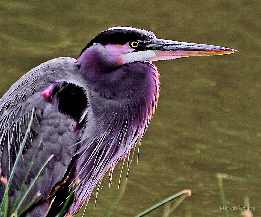 Portrait of a Heron by Marvin Collins