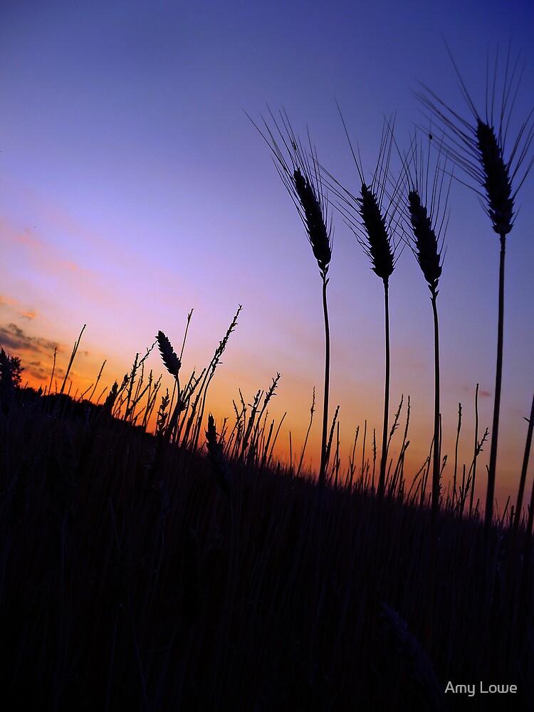 Sunset wheat by Amy Lowe