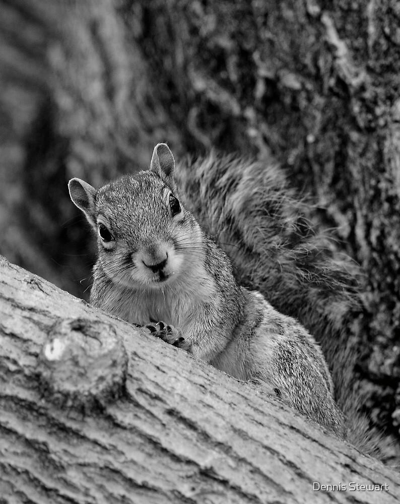 Squirrel Looking at You by Dennis Stewart