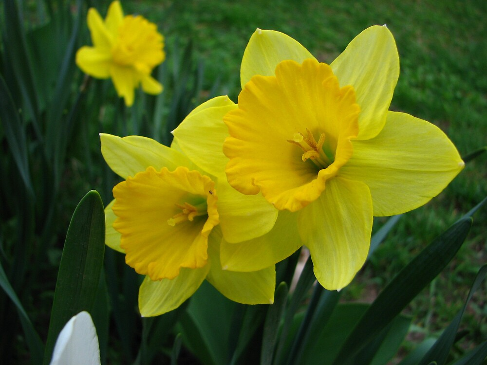 LOVELY YELLOW DAFFODILS by Paul Smileatu