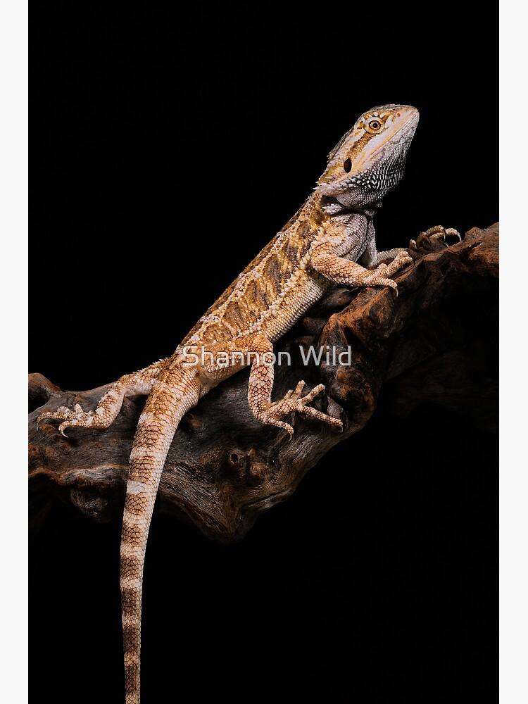 Central Bearded Dragon [Pogona vitticeps] by ShannonPlummer