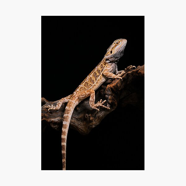 Central Bearded Dragon [Pogona vitticeps] Photographic Print