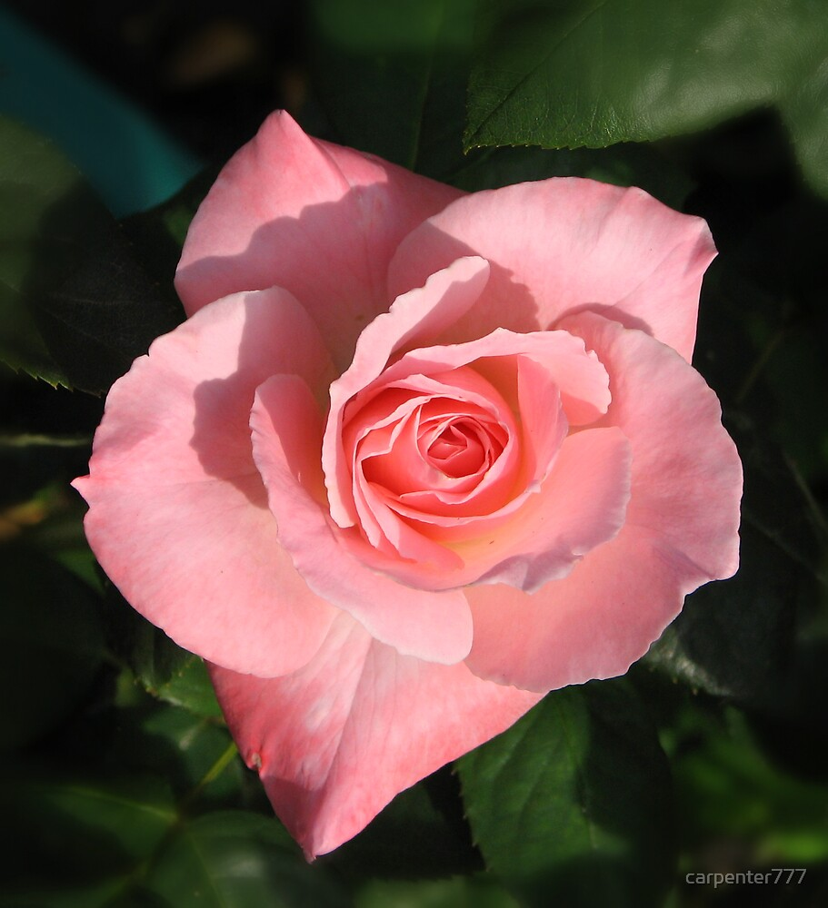 Rose by carpenter777