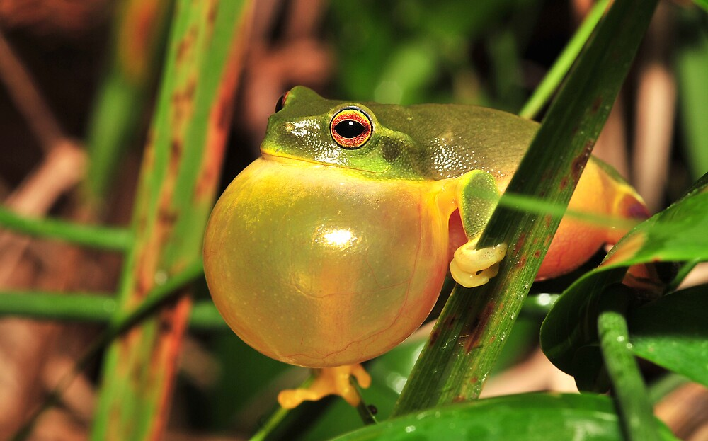 Graceful tree frog by Narelle Power