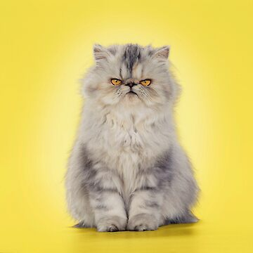 Grumpy looking Persian cat by ArdeaOnline