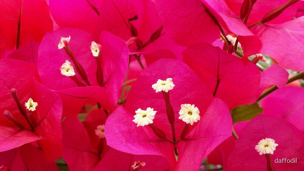 Vibrant bougainvillea  by daffodil