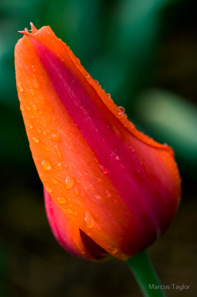 Morning Tulip by Marcus Taylor