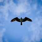 Osprey Overhead by Robert Bruce Anderson