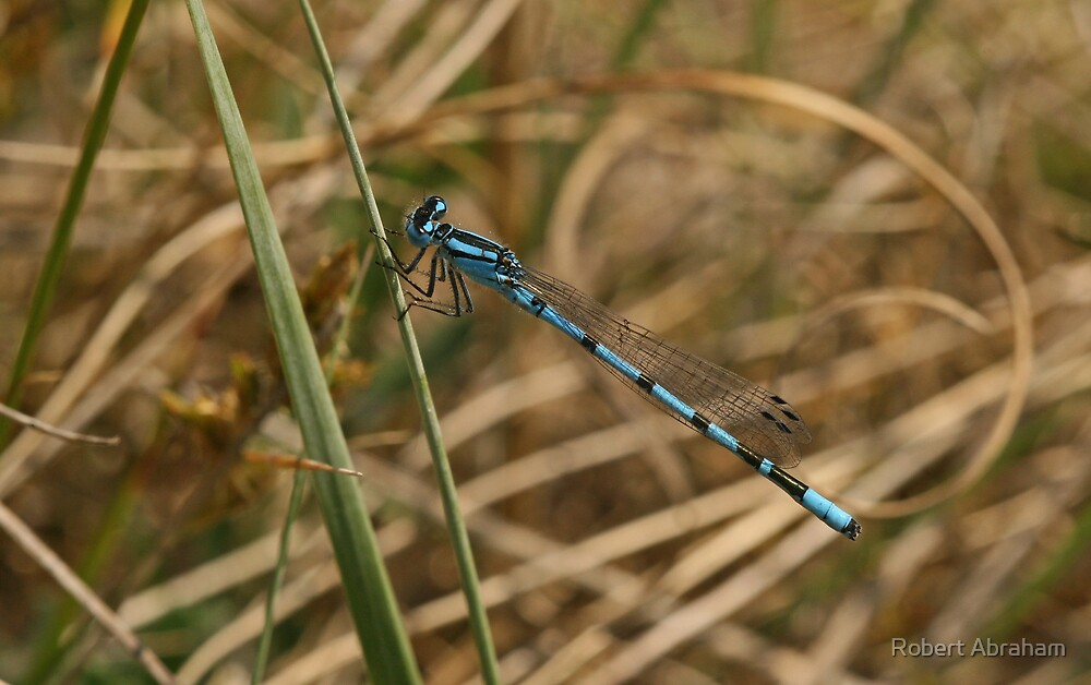 Common Blue Damselfly by Robert Abraham