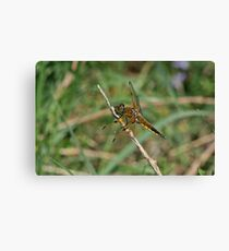 Four-Spotted Chaser Canvas Print