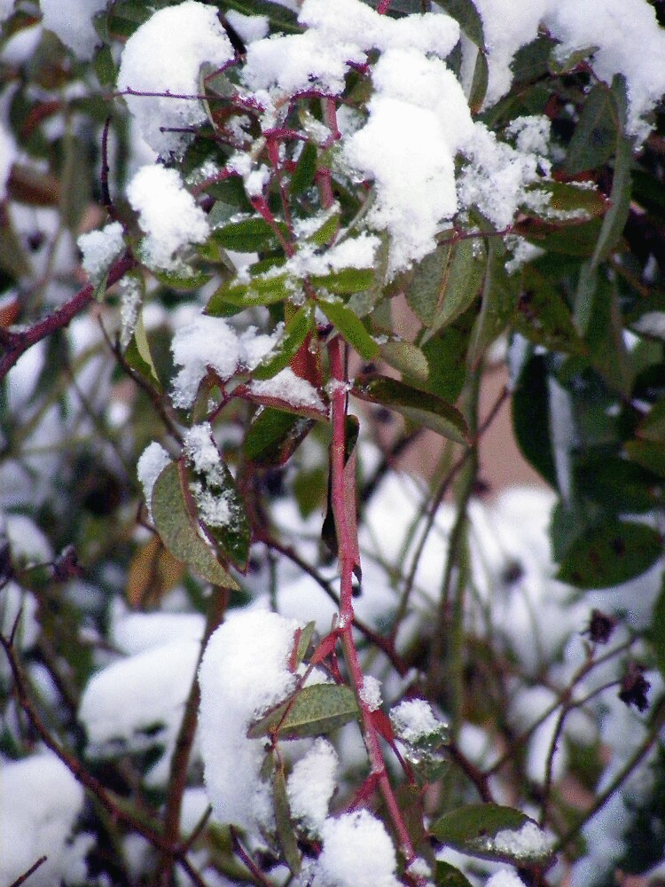 First Snow 1 by rebecca smith