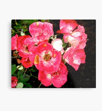 Governor General's roses 5 Metal Print