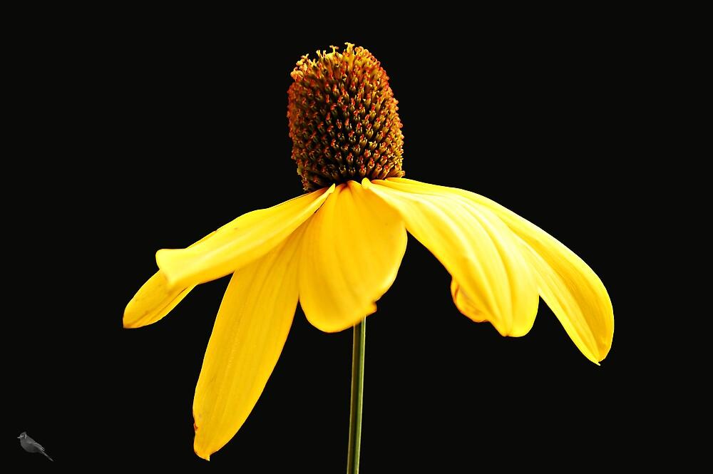 Yellow Cornflower by bluejay