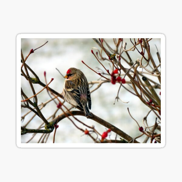 Common Redpoll on Bush with Red Berries Sticker