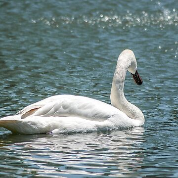 Swan | Cincinnati Zoo by christiansheehy