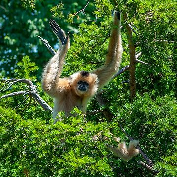 Waving Gibbon | Cincinnati Zoo by christiansheehy