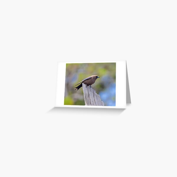 SWALLOW ~ Dusky Woodswallow by David Irwin Greeting Card