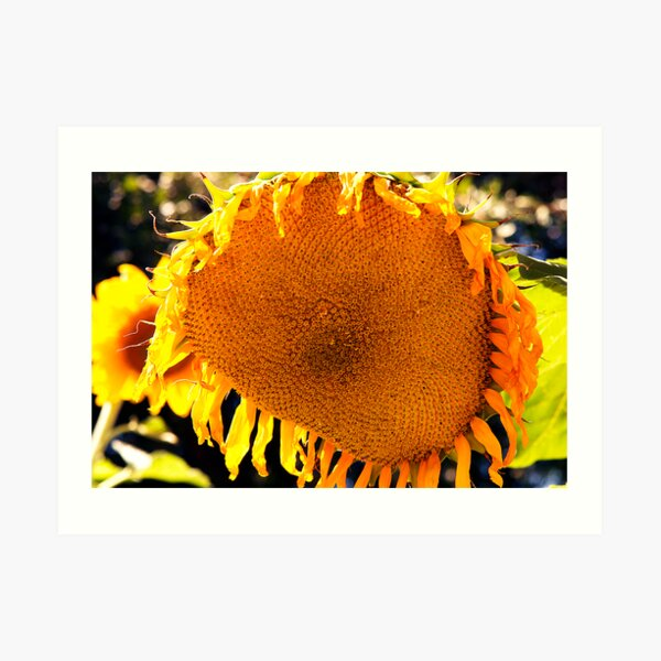 Weeping Sunflower Art Print