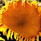 Weeping Sunflower by Clayton Bruster