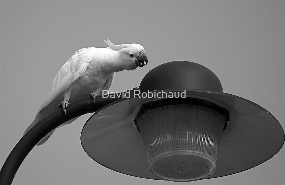 Cockatoo by David Robichaud