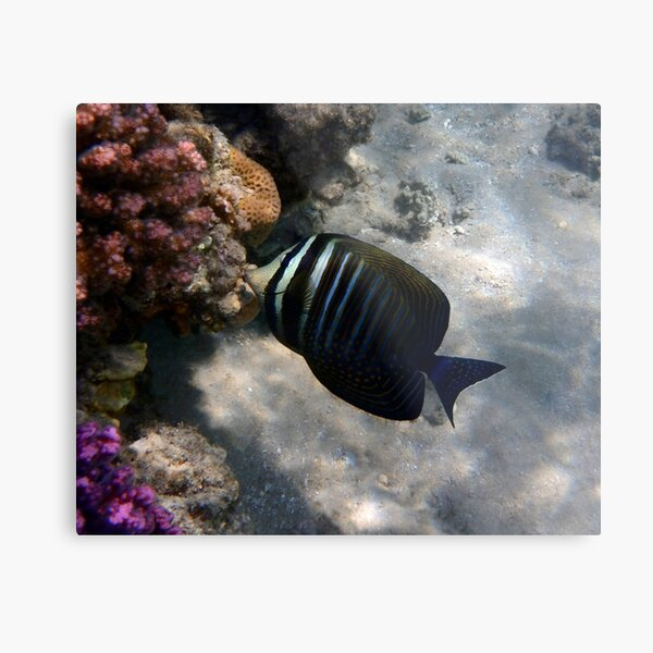 Red Sea Sailfin Tang Makadi Bay Metal Print