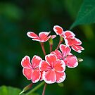 White-fringed Geranium by David Lade