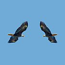 Double Bald Eagle by Dave  Knowles