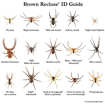 Brown Recluse ID Guide by ArthroLove