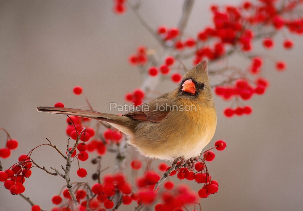 Female Northern Cardinal by Patricia Johnson