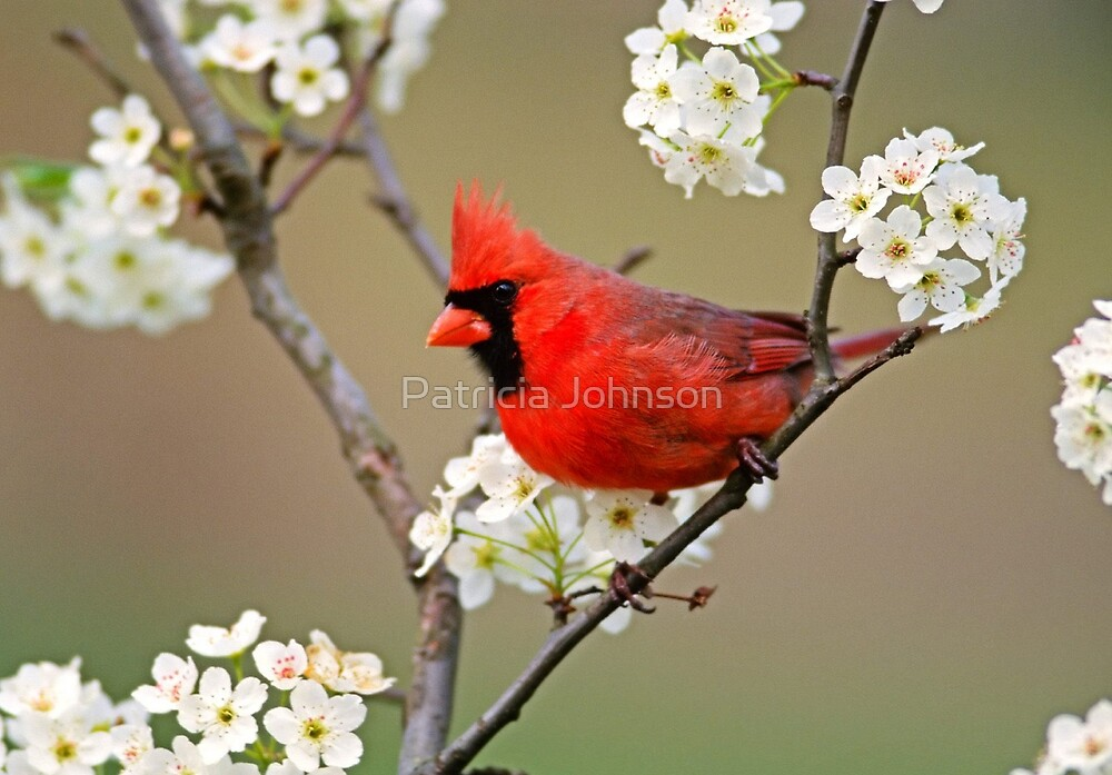 Male Cardinal by Patricia Johnson
