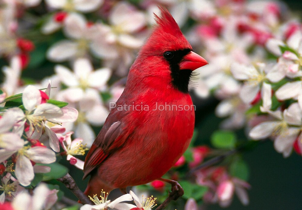 Northern Cardinal by Patricia Johnson