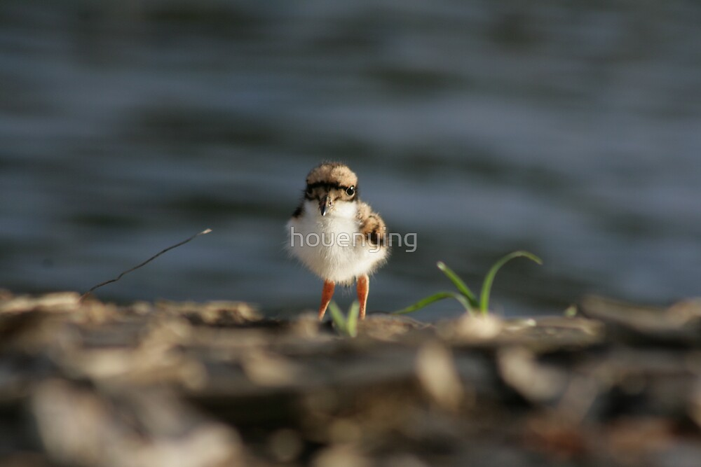 Baby Dotterel by houenying