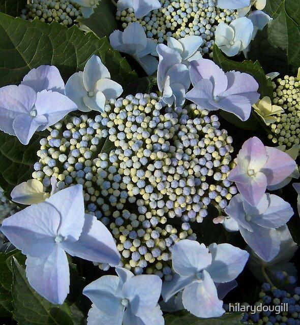 Blue Lace Hydrangea by hilarydougill