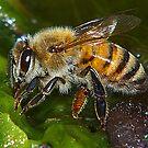 The Honey Bee by Virginia N. Fred