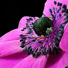 Pink Anemone by SmoothBreeze7