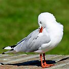 Seagull by Nickolay Stanev