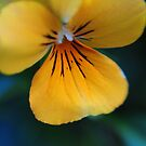 Yellow Pansy by AnnieD