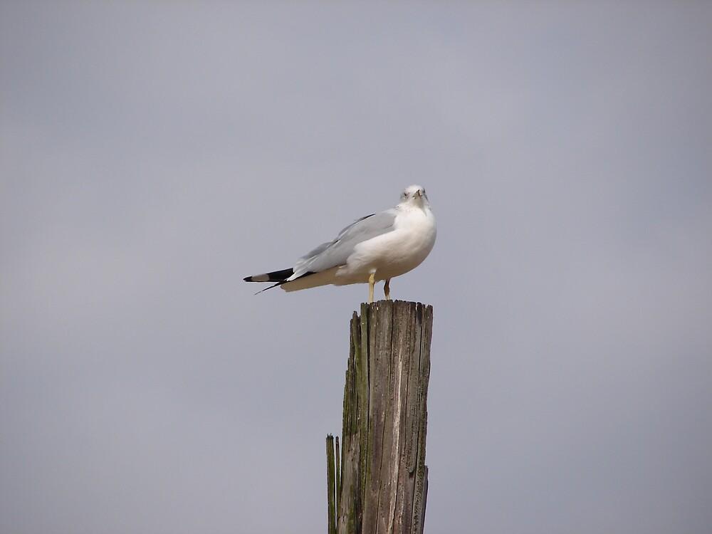 Seagul on his perch..... by Glen Baker