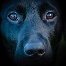 Black Labrador face by Dave  Knowles