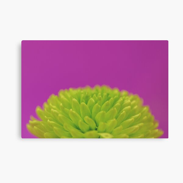 Green Button Spray Chrysanthemum Canvas Print