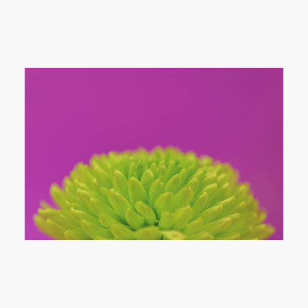 Green Button Spray Chrysanthemum Photographic Print