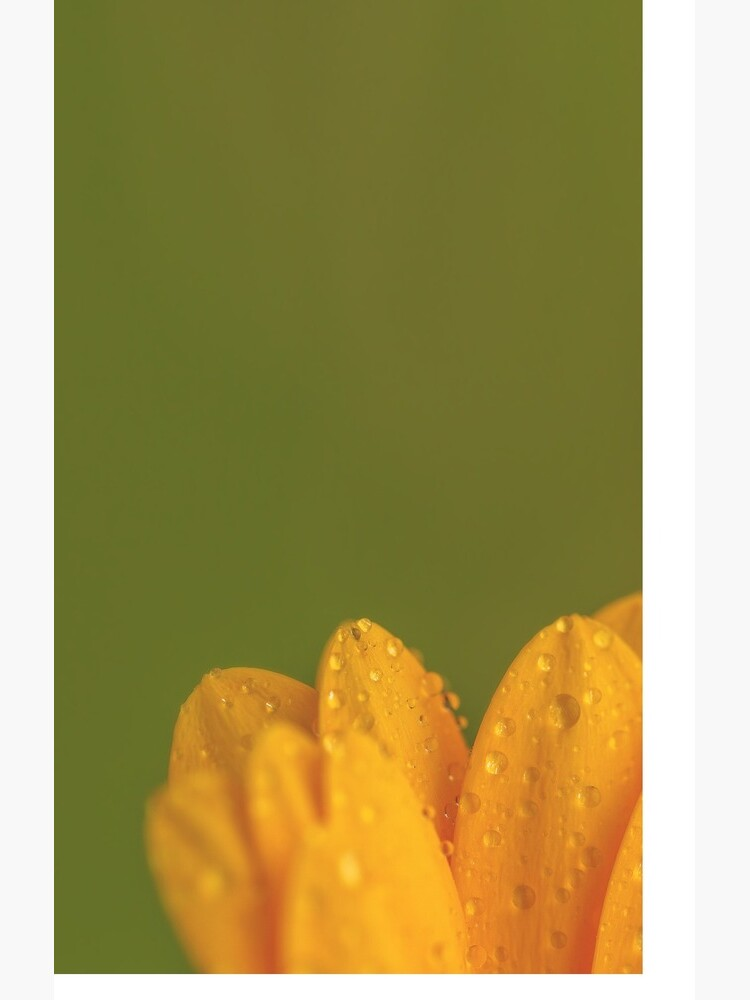 Wet Yellow Petals against Green background by IAmPaul