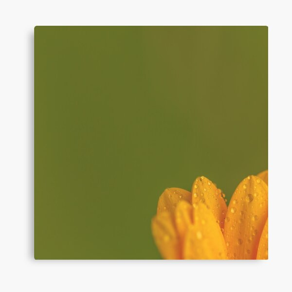 Wet Yellow Petals against Green background Canvas Print