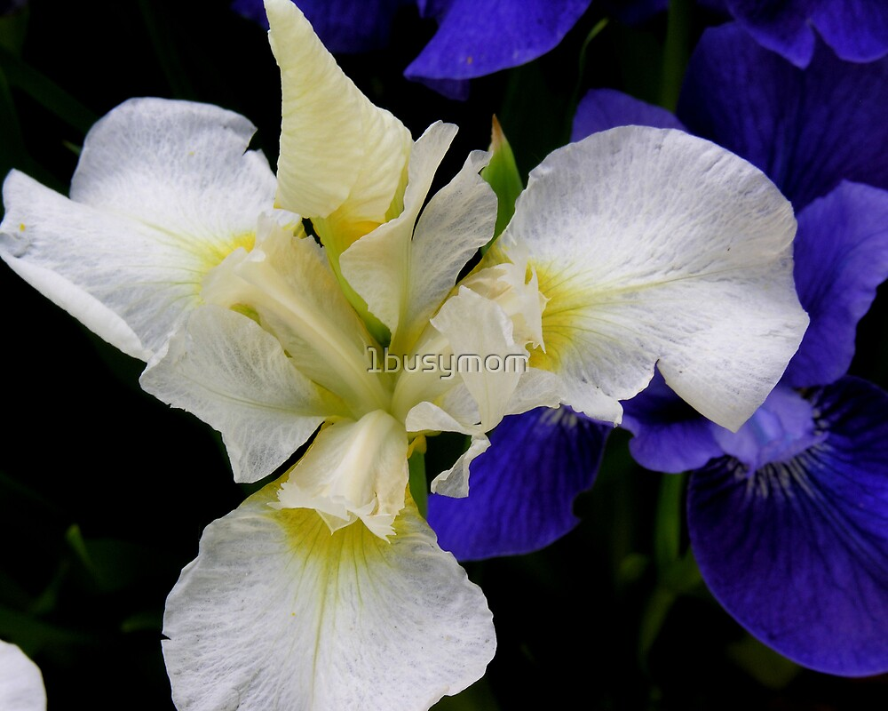 white iris against blue by 1busymom